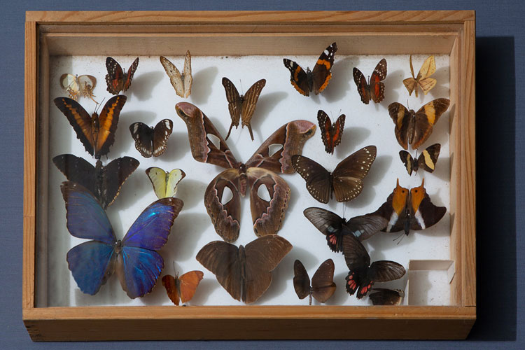 Kelebek koleksiyonu
